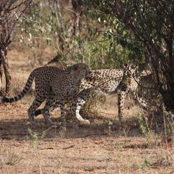 Cheetah b