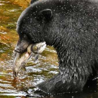 Black Bear Fishing 1