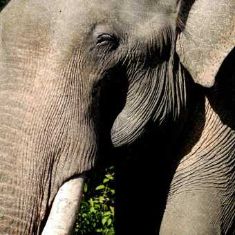 Indian elephant - up close and personal