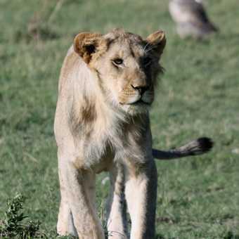 Young male lion - Masai Mara