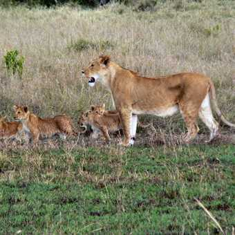 Lioness and Cubs Mara