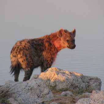 sunset spotted hyena