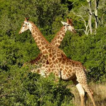 A pair of giraffe necking