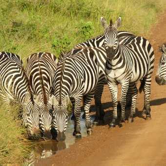 Zebras in Serengeti