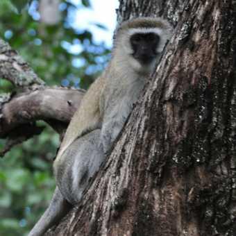 Cheeky vervet monkey at hotel
