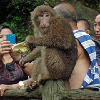 cheeky monkey Mt Emei