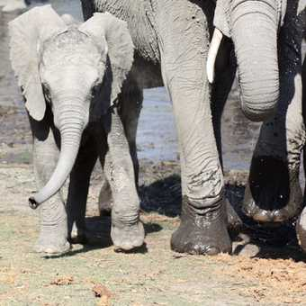 Elephant mother & calf - Linyanti