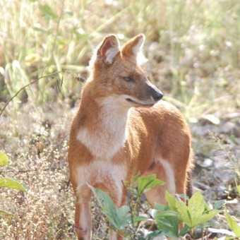 Indian Hunting Dog