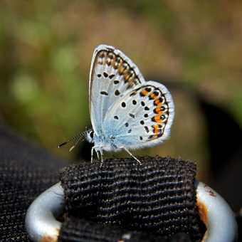 Butterflies - Silver Studded Blue