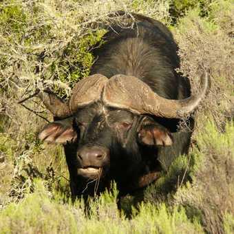Buffalo at lalibela