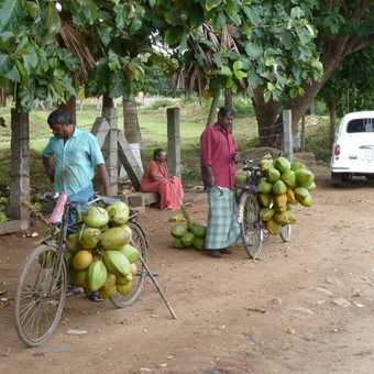 Coconut sellers