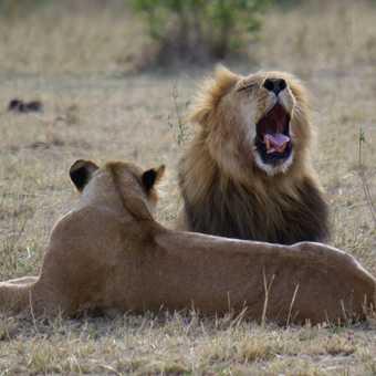 Lions in the Masai Mara, Kenya