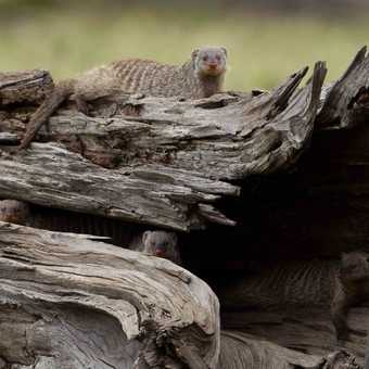 Mongooses (or is it mongeese?)