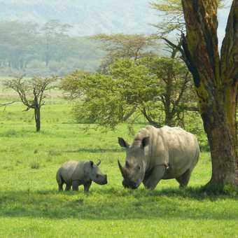 White Rhino and baby 1