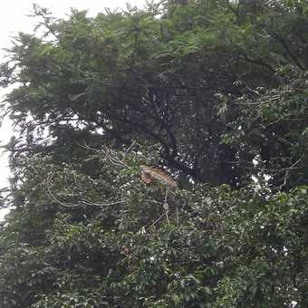 Another Iguana in the trees