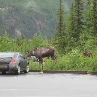 moose and calf in the car park