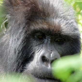Silverback gorilla, Rwanda.