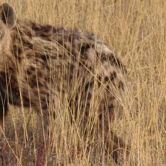 Hyena. L.O.L.