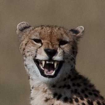 cheetah smile