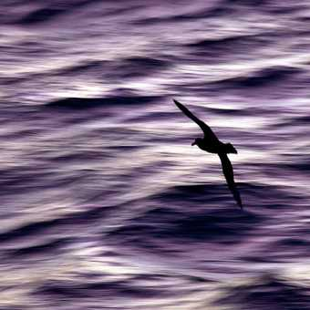 Petrel sunset