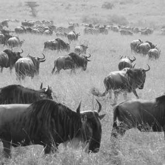 Wildebeest migration, masai mara game reserve, Kenya