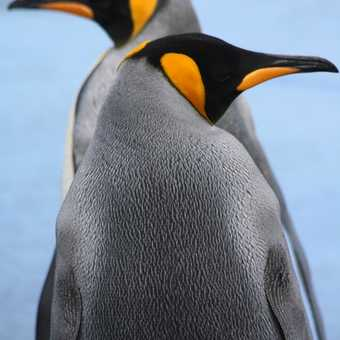 King Penguin: Gold Harbour - South Georgia