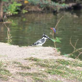 Malachite Kingfisher, River Nile, Jinja, Uganda