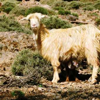 Goat with newborn kid