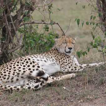 Resting Cheetah - Masai Mara
