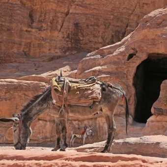 One of Petra's miniature donkeys