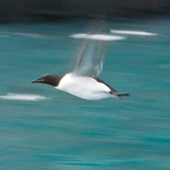 Guillemot Flight Blur