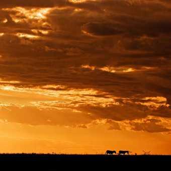 Zebras in the sunset