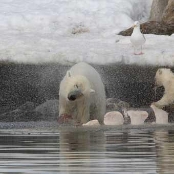 Polar bear and cub walk across the deep snow