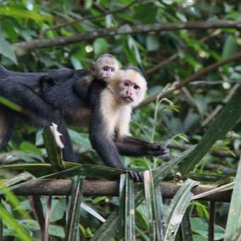 white faced capuchin monkeys in Tortuguero NP