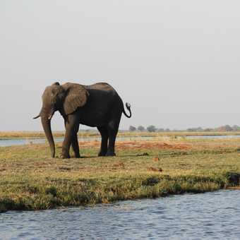 Young elephants sparring - Chobe