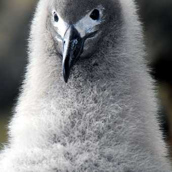 AUkland Isle : Lightly Mantled Albatros chick