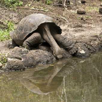Drinking Giant Tortoise