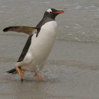 Gentoo Penguin striding down the beach - Falklands