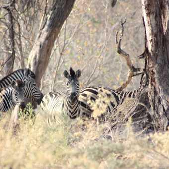 Zebra, Moremi Reserve - Okavango Delta