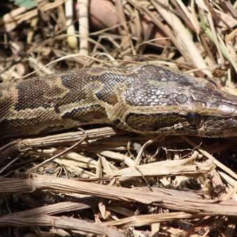 Python in Djoudj National Park