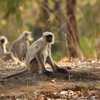 Langur Monkeys on the forest floor