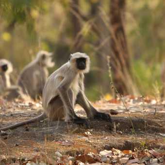 Langur Monkeys on the forest floor