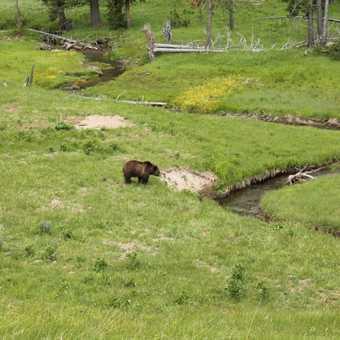 Wolf Tracking, Yellowstone
