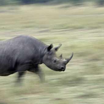 Slow Pan Rhino