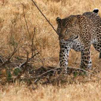 Leopard, Nakuru.