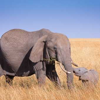 Sharing the meal with the cub. Elephants in Masai Mara.