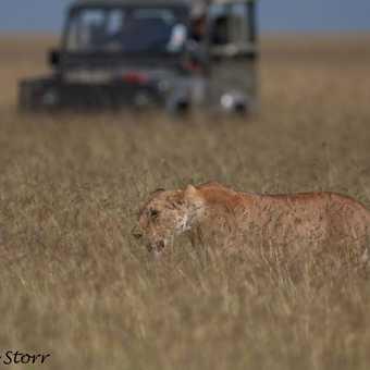 FOLLOW THAT LION