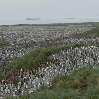 How many King Penguins ! - Salisbury Plain - South Georgia