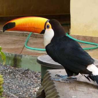 Toucan - Bonito