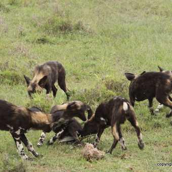 Wild dogs - Laikipia